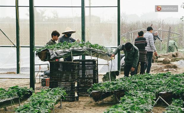 Không cần mất công đi Mộc Châu, một vườn dâu tây đã có ngay ở Hà Nội phục vụ Tết nguyên đán - Ảnh 6.