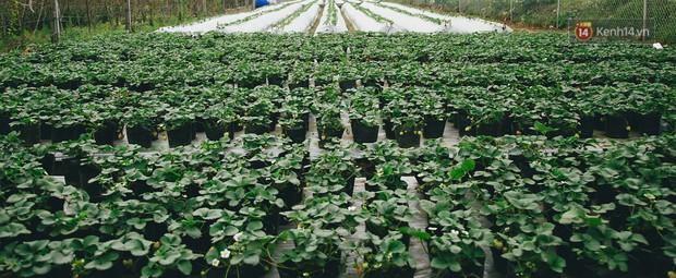 Không cần mất công đi Mộc Châu, một vườn dâu tây đã có ngay ở Hà Nội phục vụ Tết nguyên đán - Ảnh 2.