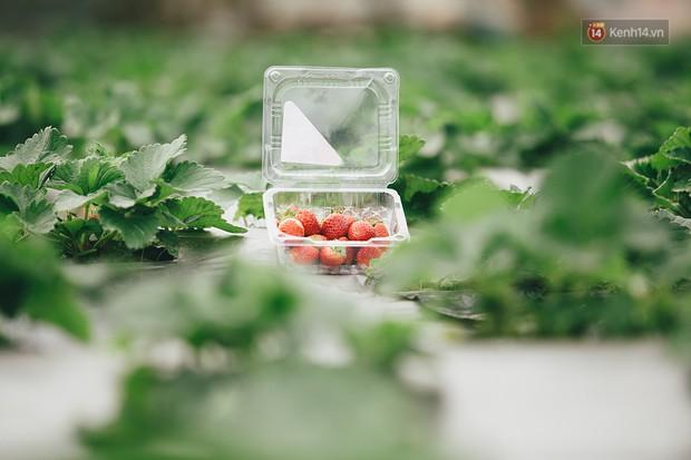 Không cần mất công đi Mộc Châu, một vườn dâu tây đã có ngay ở Hà Nội phục vụ Tết nguyên đán - Ảnh 1.