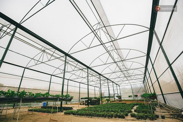 Không cần mất công đi Mộc Châu, một vườn dâu tây đã có ngay ở Hà Nội phục vụ Tết nguyên đán - Ảnh 5.