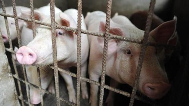 Trung Quốc xác nhận ổ dịch cúm lợn châu Phi tại tỉnh Giang Tô  - Ảnh 1.
