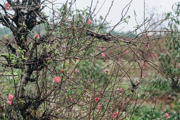 Gần 200 gốc đào của người dân Bắc Ninh bị chặt phá trong đêm: Tết năm nay còn chả có bánh chưng mà ăn - Ảnh 11.