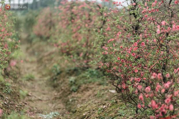 Gần 200 gốc đào của người dân Bắc Ninh bị chặt phá trong đêm: Tết năm nay còn chả có bánh chưng mà ăn - Ảnh 3.