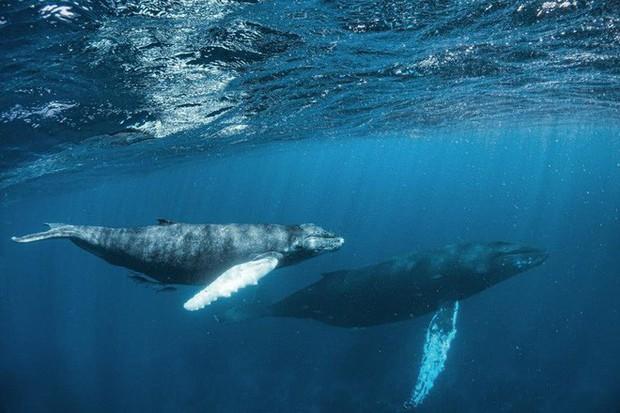 Cá voi thực chất là DJ đại tài: luôn remix lại nhạc của nhau để ra bài mới - Ảnh 2.