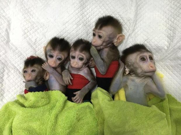 Các nhà khoa học Trung Quốc lại vừa nhân bản thành công 5 con khỉ biến đổi gen đầu tiên trên thế giới - Ảnh 1.