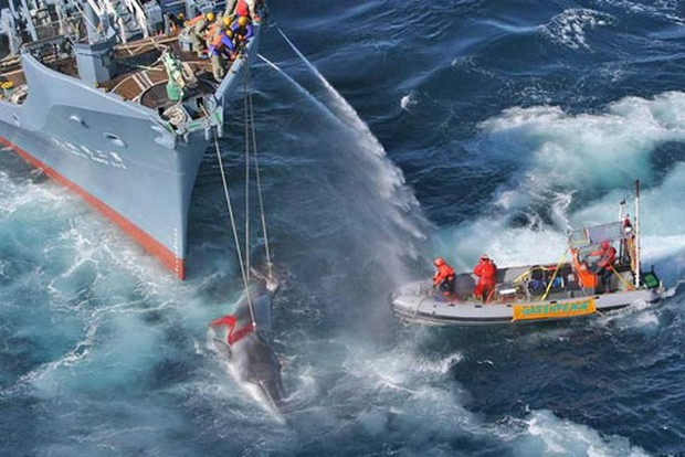 Thế giới lo ngại tái diễn cảnh cá voi bị tàn sát trên đại dương - Ảnh 1.