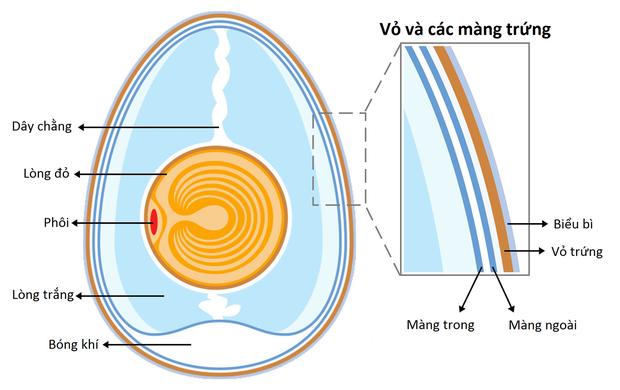 Hỏi đơn giản mà mà ít ai biết câu trả lời: Những chú gà con ở trong quả trứng kín mít làm sao thở được nhỉ? - Ảnh 6.
