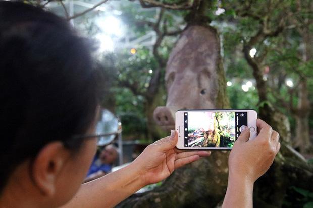 Cận cảnh cây khế đầu heo có giá nửa tỷ đồng được bày bán thu hút người dân Sài Gòn - Ảnh 16.
