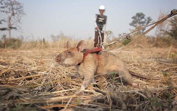 Voi sợ chuột, nhưng voi châu Phi lại đang được cứu nhờ chúng và đây là lý do - Ảnh 2.