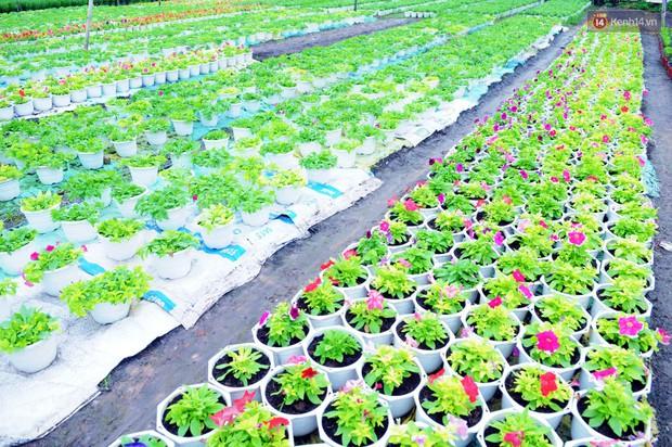 Hoa bắt đầu chớm nở, nhà vườn Sài Gòn ngày đêm chăm sóc để kịp cho người dân mua sắm đón Tết Kỷ Hợi 2019 - Ảnh 5.