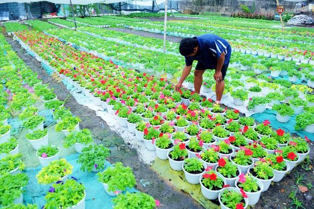 Hoa bắt đầu chớm nở, nhà vườn Sài Gòn ngày đêm chăm sóc để kịp cho người dân mua sắm đón Tết Kỷ Hợi 2019 - Ảnh 4.