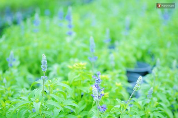 Hoa bắt đầu chớm nở, nhà vườn Sài Gòn ngày đêm chăm sóc để kịp cho người dân mua sắm đón Tết Kỷ Hợi 2019 - Ảnh 12.