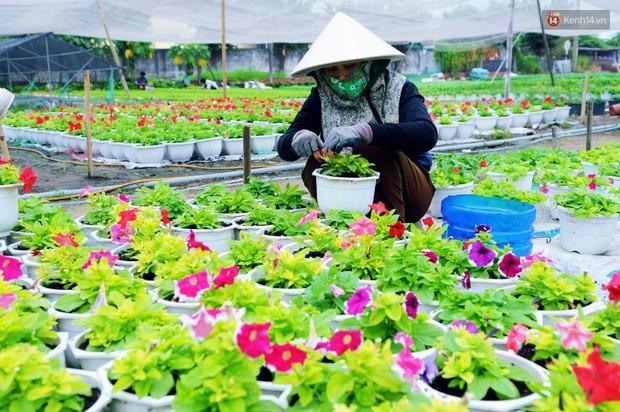 Hoa bắt đầu chớm nở, nhà vườn Sài Gòn ngày đêm chăm sóc để kịp cho người dân mua sắm đón Tết Kỷ Hợi 2019 - Ảnh 13.
