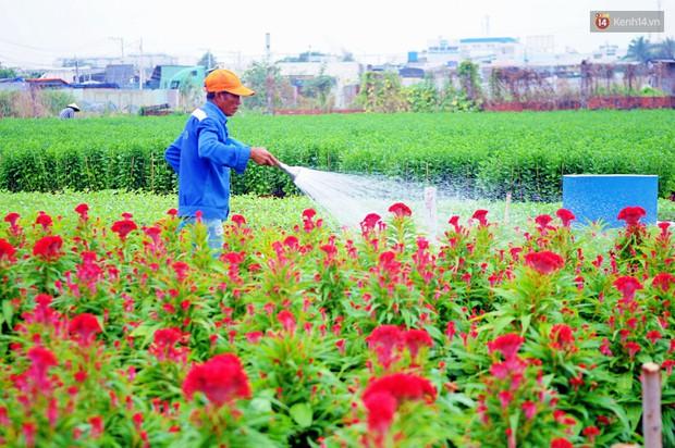 Hoa bắt đầu chớm nở, nhà vườn Sài Gòn ngày đêm chăm sóc để kịp cho người dân mua sắm đón Tết Kỷ Hợi 2019 - Ảnh 6.