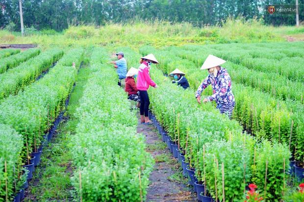 Hoa bắt đầu chớm nở, nhà vườn Sài Gòn ngày đêm chăm sóc để kịp cho người dân mua sắm đón Tết Kỷ Hợi 2019 - Ảnh 14.