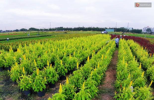 Hoa bắt đầu chớm nở, nhà vườn Sài Gòn ngày đêm chăm sóc để kịp cho người dân mua sắm đón Tết Kỷ Hợi 2019 - Ảnh 7.