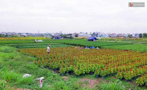 Hoa bắt đầu chớm nở, nhà vườn Sài Gòn ngày đêm chăm sóc để kịp cho người dân mua sắm đón Tết Kỷ Hợi 2019 - Ảnh 1.