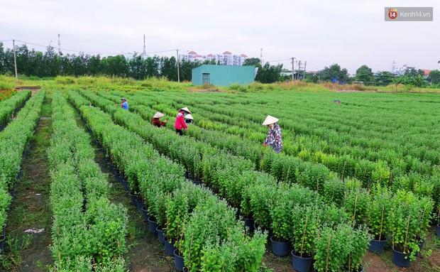 Hoa bắt đầu chớm nở, nhà vườn Sài Gòn ngày đêm chăm sóc để kịp cho người dân mua sắm đón Tết Kỷ Hợi 2019 - Ảnh 2.