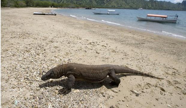 Indonesia hủy kế hoạch đóng cửa đảo rồng Komodo - Ảnh 1.