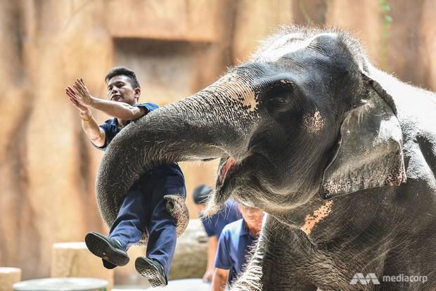 Voi biểu diễn ở Thái Lan - nỗi đau đằng sau trò tiêu khiển - Ảnh 3.