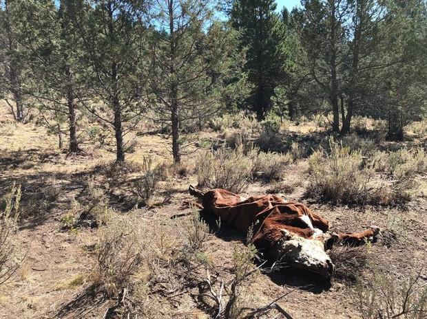 Bí ẩn hàng loạt xác bò tại Mỹ chết trong tình trạng máu bị rút sạch: Hung thủ là ma cà rồng, alien hay thế lực siêu nhiên nào? - Ảnh 3.