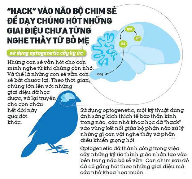 Các nhà khoa học hack vào não bộ chim sẻ, dạy chúng hót những giai điệu chưa từng nghe thấy từ bố mẹ - Ảnh 1.