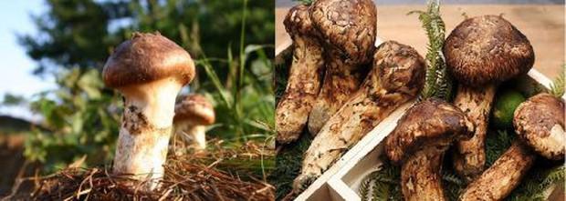 Có giá lên đến 40 triệu đồng/kg nhưng vua của các loại nấm vẫn được người Nhật ưa chuộng và dưới đây là lý do tại sao - Ảnh 3.