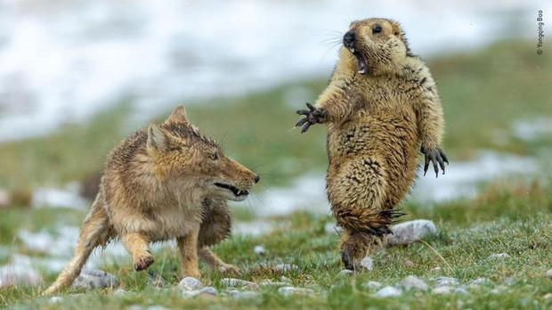 Bức ảnh sói dọa hú hồn chú sóc nhận Giải Nhất cuộc thi Nhiếp ảnh động vật hoang dã 2019 - Ảnh 1.
