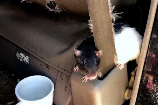 Chuyện lạ: Người phụ nữ sống với 320 con chuột trong xe tải - Ảnh 1.