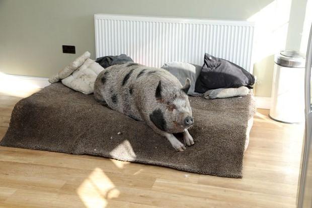 Nuôi heo siêu nhỏ thay thú cưng, người đàn ông không ngờ sau 5 năm heo nặng 180kg, thích ăn bánh pudding và ngủ trên ghế sofa - Ảnh 4.