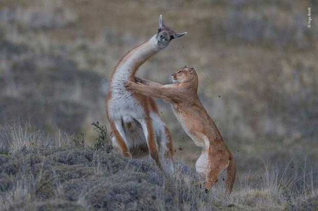 Bức ảnh sói dọa hú hồn chú sóc nhận Giải Nhất cuộc thi Nhiếp ảnh động vật hoang dã 2019 - Ảnh 10.