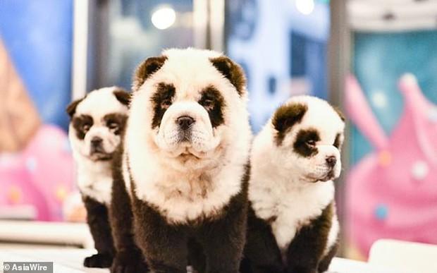 Hô biến chó thành gấu trúc để thu hút khách, quán cà phê thú cưng bị dân mạng ném đá kịch liệt - Ảnh 2.