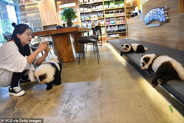 Hô biến chó thành gấu trúc để thu hút khách, quán cà phê thú cưng bị dân mạng ném đá kịch liệt - Ảnh 5.