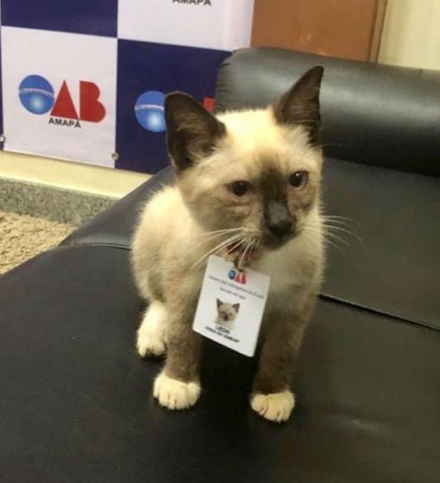 Boss mèo mặt dày lởn vởn ở văn phòng Hiệp hội Luật sư Brazil suốt 1 tuần liền, sau đấy được nhận vào làm chính thức luôn - Ảnh 1.