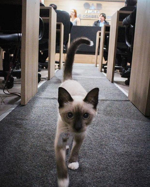 Boss mèo mặt dày lởn vởn ở văn phòng Hiệp hội Luật sư Brazil suốt 1 tuần liền, sau đấy được nhận vào làm chính thức luôn - Ảnh 9.