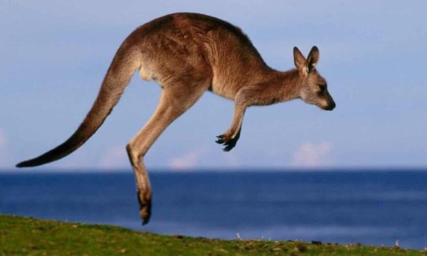 Nam thanh niên Úc đối diện với bản án 7 năm tù vì tội cố sát hại kangaroo địa phương - Ảnh 1.