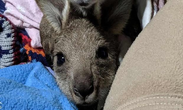 Nam thanh niên Úc đối diện với bản án 7 năm tù vì tội cố sát hại kangaroo địa phương - Ảnh 2.