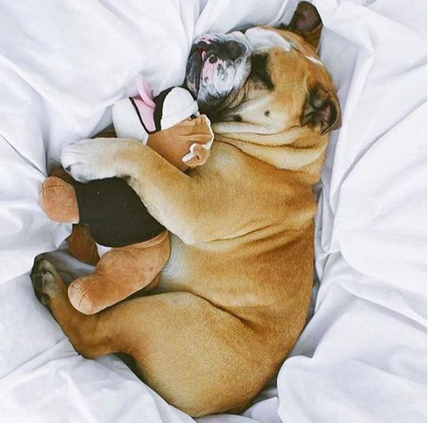 22 khoảnh khắc đáng yêu của chó Bull khiến bạn muốn ôm ngay một em về nhà - Ảnh 7.