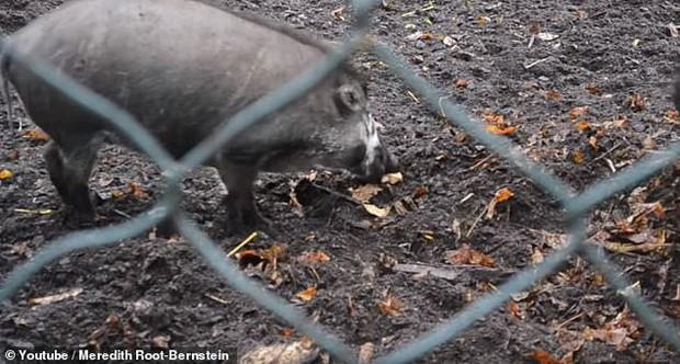 Lần đầu tiên trong lịch sử khoa học nhìn thấy cảnh lợn biết dùng gậy đào đất: Tiến hóa là có thật? - Ảnh 1.
