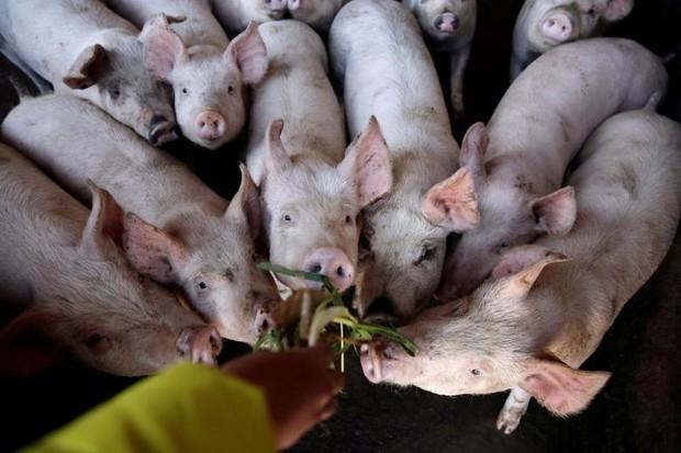 Trung Quốc nuôi lợn to như gấu Bắc Cực để đối phó khủng hoảng thịt lợn - Ảnh 2.
