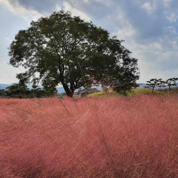 Mỗi độ thu về, cánh đồng cỏ hồng ở Hàn Quốc lại là địa điểm được hội thích sống ảo check in nhiều nhất trên Instagram - Ảnh 2.
