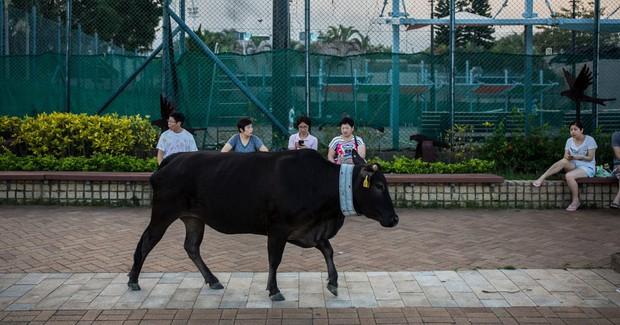Băng đảng bốn con bò hung hăng cướp sạch rau củ trong siêu thị Hong Kong ngay giữa thanh thiên bạch nhật - Ảnh 4.