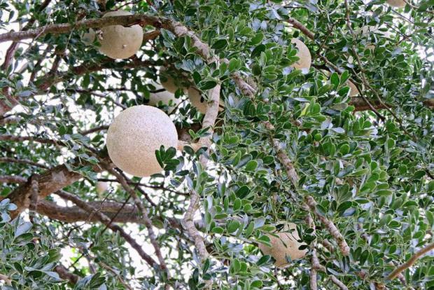 Xấu từ ngoài vào trong nhưng ít ai biết trái quách Trà Vinh là đặc sản không phải ai cũng từng được ăn - Ảnh 2.