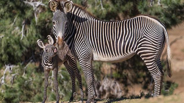 Người Nhật bảo sơn lông bò như ngựa vằn là cách tuyệt vời để bảo vệ môi trường: Sự thật là như thế nào? - Ảnh 1.