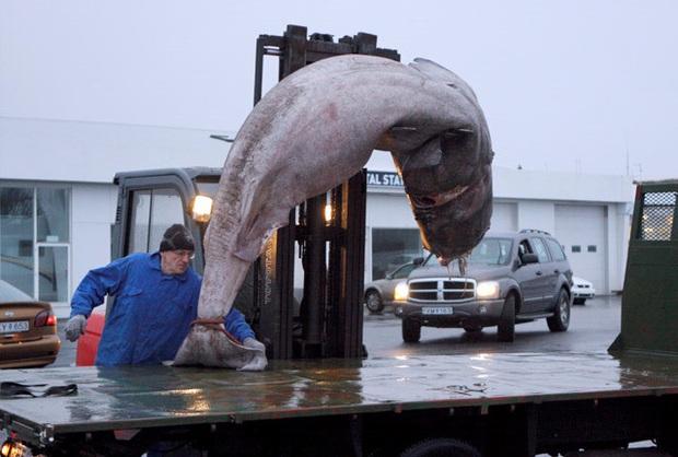Iceland có món cá mập thối kinh dị đến mức khiến Gordon Ramsay nôn mửa ngay khi vừa nếm, nhưng nhiều người vẫn thích mê - Ảnh 1.