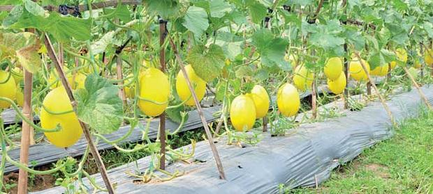 Câu chuyện đằng sau những trái dưa tiền tỉ của Nhật Bản: Căn nguyên từ tình yêu bất diệt của người trồng cây - Ảnh 4.
