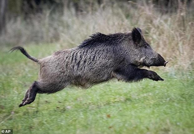 Bầy lợn rừng háu ăn phanh phui số ma tuý được giấu kín trong rừng trị giá hơn nửa tỷ đồng - Ảnh 1.