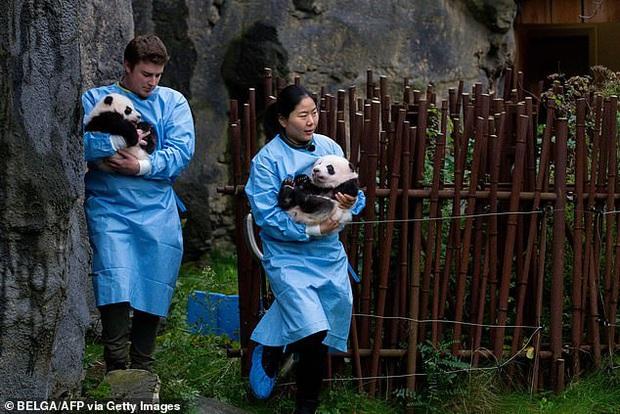Khoảnh khắc dễ thương: Anh em gấu trúc bị bắt chào cô chú đi con nhưng chỉ muốn tháo chạy khỏi vòng tay nhân viên sở thú - Ảnh 7.