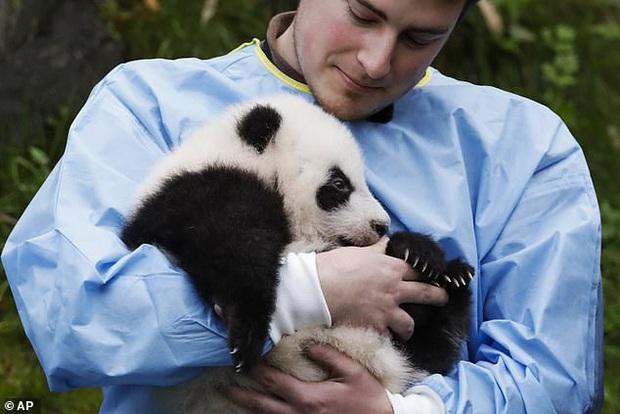 Khoảnh khắc dễ thương: Anh em gấu trúc bị bắt chào cô chú đi con nhưng chỉ muốn tháo chạy khỏi vòng tay nhân viên sở thú - Ảnh 5.