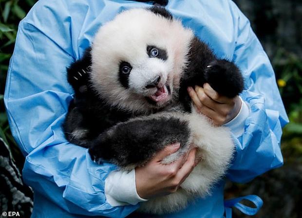 Khoảnh khắc dễ thương: Anh em gấu trúc bị bắt chào cô chú đi con nhưng chỉ muốn tháo chạy khỏi vòng tay nhân viên sở thú - Ảnh 1.